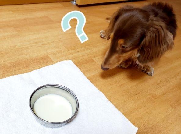 豆乳を見つめる犬