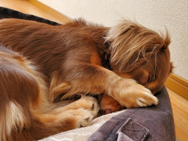 顔を隠して寝る愛犬